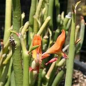 Cultural Geography Pedilanthus Macrocarpus At San Marcos Growers