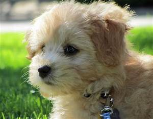 Hallie the Poodle Mix | Puppies | Daily Puppy