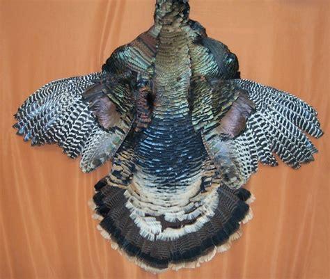 wild turkey feathers wings tails  beards  sale