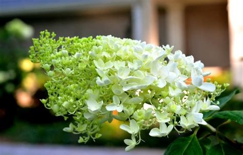 how do you prune hydrangea bushes how to prune hydrangeas and when redeem your ground