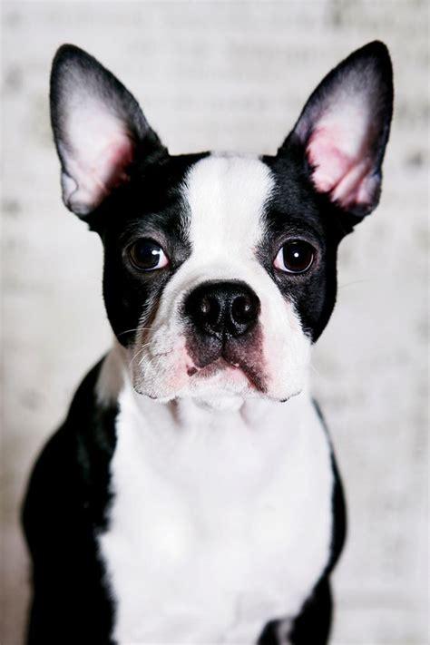 descubre las razas de perros ideales  pisos todo en