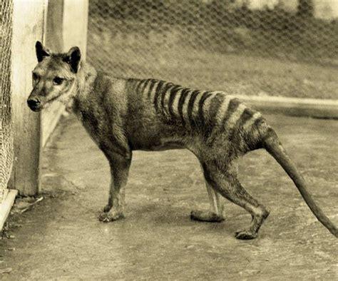 Le Tigre De Tasmanie  L'animal Fantôme