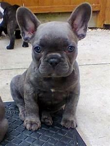 Blue Brindle French Bulldog Puppies . | Nice3 | Pinterest ...