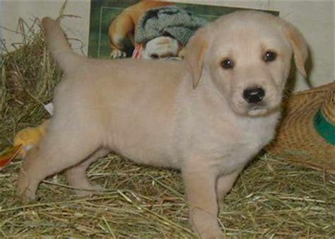 Labrador pups - labrador