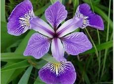 Iris Versicolor Iris versicolore