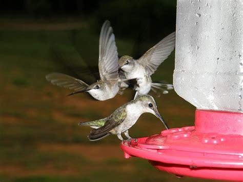 hummingbird feeder tips general hummingbird feeding 187 bird watcher s digest