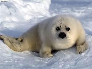 Animals: Harp Seal Pup Arctic Ocean, picture nr. 20037