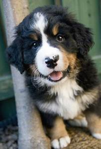 Sam the Bernese Mountain Dog | Puppies | Daily Puppy