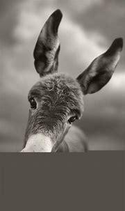Animals Wallpapers Dark Mule Pet Animal Macro Grayscale ...