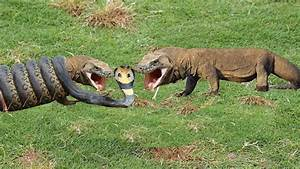 Wow! Komodo Dragon Attack with Snake In Rice Field ...