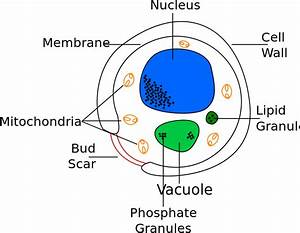 File Yeast Cell English Svg