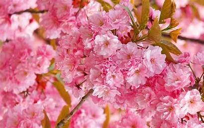 Blossom Cherry Pink Tree Blossoms Desktop Wallpapers