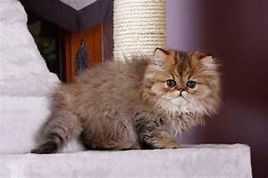 Katze Kotzt Viel : perser kitten tipps und s e fotos ~ Frokenaadalensverden.com Haus und Dekorationen