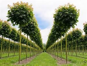 Baum Vorgarten Immergrün : kugel spitzahorn gartenzauber ~ Michelbontemps.com Haus und Dekorationen