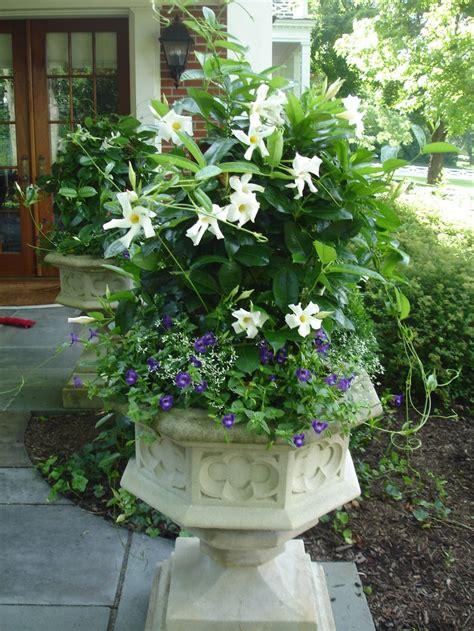 white mandevilla  torenia   plants