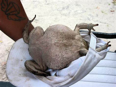 Huge toad, found on Ambergris Caye