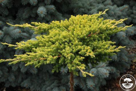 juniperus procumbens kishiogima pa