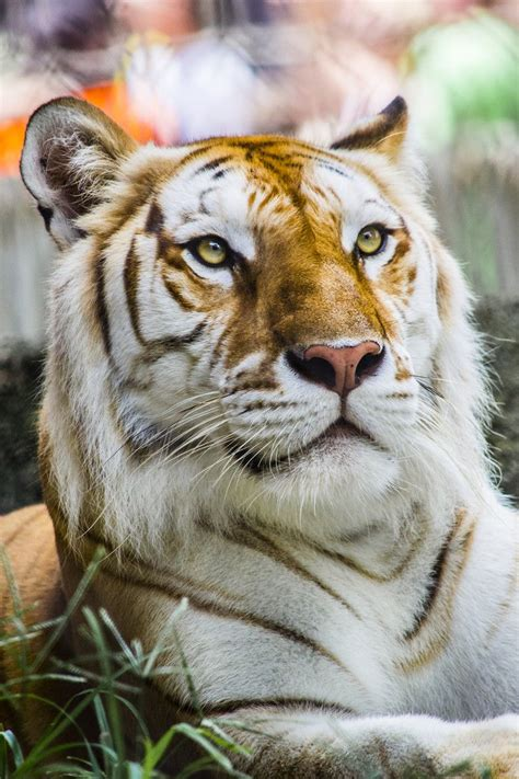 Eyes The Golden Tiger Fluffy Things