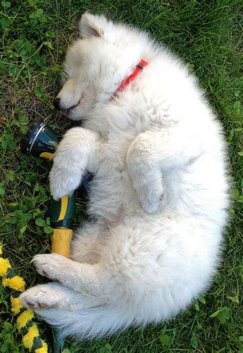 Diy Samoyed Grooming Bath Tips Dog Care Daily Puppy