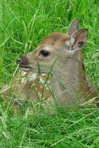 Bottle Feeding Baby Chart Deer Rescue Rehabilitation Conditions And Veterinary