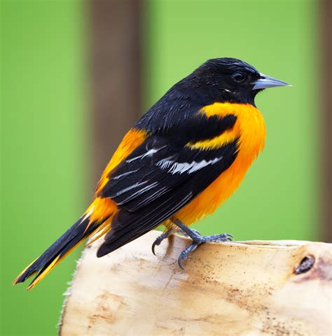 top 28 what does a baltimore oriole sound like