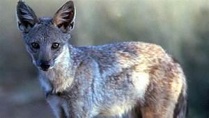 black-backed jackal | Natural History