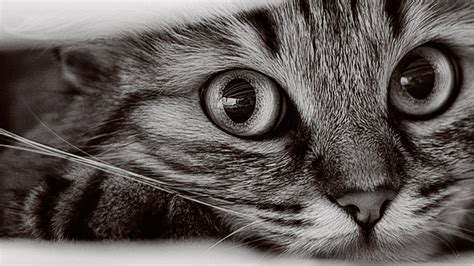 1366x768 Cat Wallpapers #10543 Wallpaper