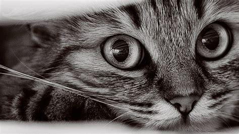 1366x768 Cat Wallpapers #10542 Wallpaper Walldiskpaper