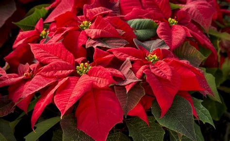 weihnachtsstern pflanze deko weihnachtsstern zimmerpflanzen weihnachtsstern