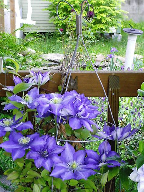 can i plant clematis in a pot clematis in containers take two minerva s garden