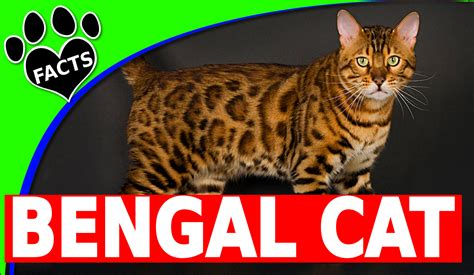 Bengal Cats 101 Facts And Information  Animal Facts