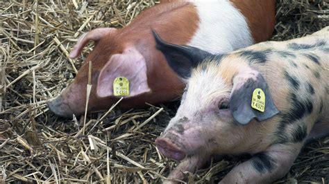 Øremærker til Svin | Køb officielle CHR øremærker til svin her