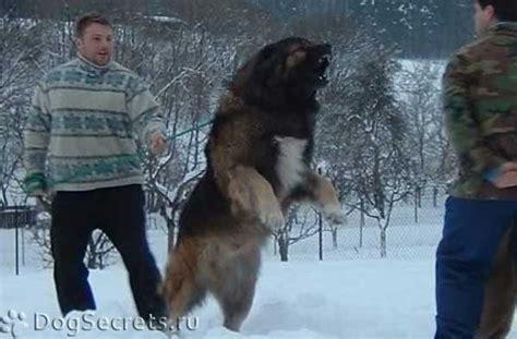 Фото кавказская овчарка белая