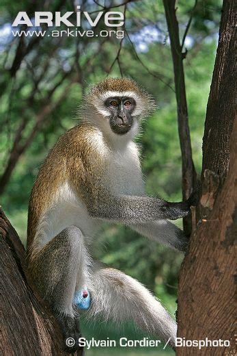 vervet monkeys chlorocebus aethiops pygerythrus home