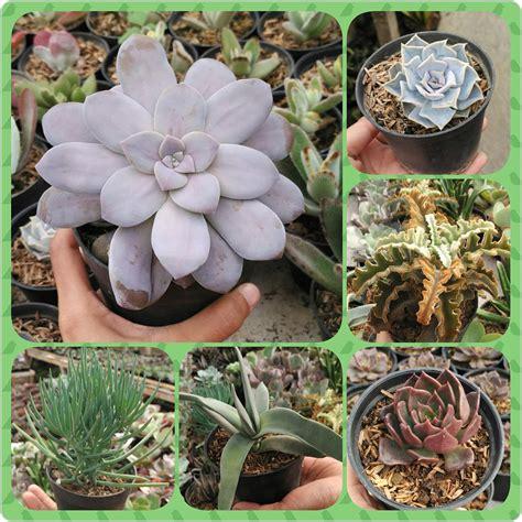 jual tanaman hias sukulen  kaktus mini harga murah