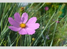 Cosmos How to Plant, Grow, and Care for Cosmos Flowers