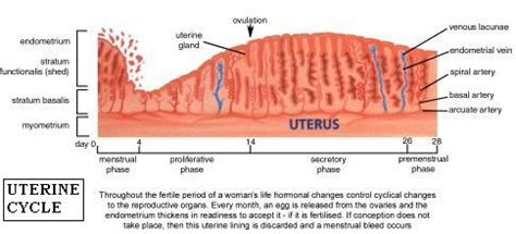 uterine wall shedding pregnancy 100 shedding uterine lining while a