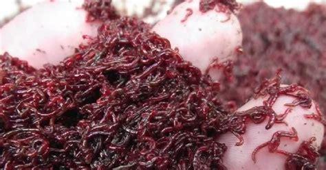 Cacing Dan Cacing Darah mengenal cacing darah pakan alami yang kaya gizi