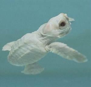 A rare Albino sea turtle | Animals and such | Pinterest