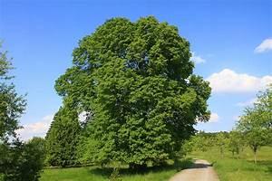 Linde Baum Steckbrief : sommerlinde wikipedia ~ Orissabook.com Haus und Dekorationen