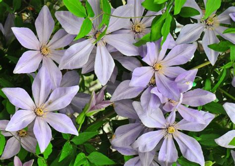 Breeder to launch four new clematis varieties at Chelsea ...