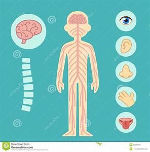 Nervous System Stock Vector  Illustration Of Elements