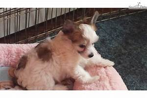 Chinese Crested puppy for sale near Akron / Canton, Ohio