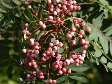 small tree with berries 15 best images about sorbus rowan on pinterest trees rowan and hunters