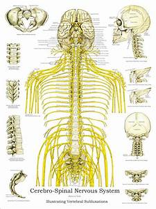 Wiring And Diagram  Diagram Of Vertebrae And Nerves