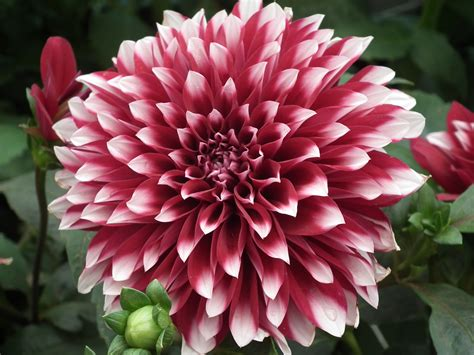 dahlia pic file dahlia from lalbagh flower show august 2012 4616 jpg wikimedia commons
