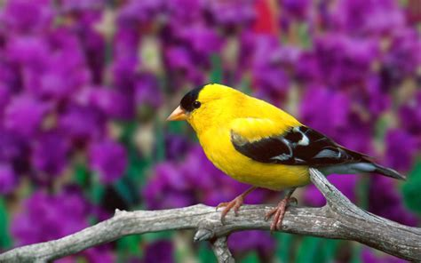 american goldfinch angelic hugs