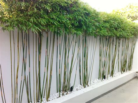 garden screening bamboo top screening plants for your garden and hedging shrubs