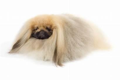 Breeds Dog Royalty Pekingese Royal Beloved