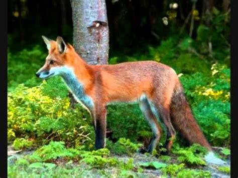 is it to own a fox in ohio fox in the forest youtube